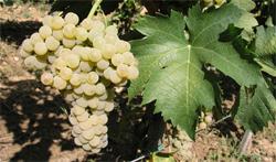 vinogra123